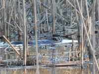 Beaver in Miller Pond (Feb 2019)