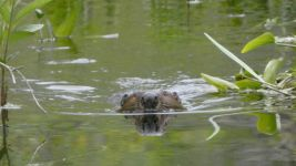 Beaver, Unexpected Wildlife Refuge photo