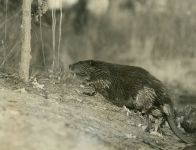 A beaver we called Nipper, Unexpected Wildlife Refuge photo