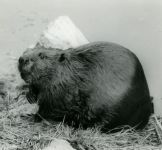 Beaver, photo by Hope Sawyer Buyukmihci (1987)