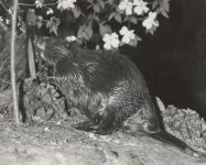 Beaver approaching poplar tree, photo by Hope Sawyer Buyukmihci (undated)