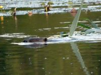 Beaver swimming with reed in main pond (Jul 2017)