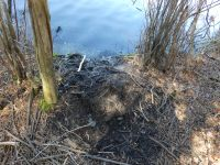 Beaver scent mound along main pond shore (Mar 2020)