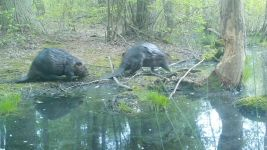 Beaver series near Wild Goose Blind, 3, trail camera photos (May 2020)