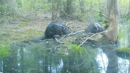 Beaver series near Wild Goose Blind, 4, trail camera photos (May 2020)