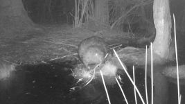 Beaver series at night near Wild Goose Blind, 1, trail camera photos (May 2020)