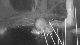Beaver series at night near Wild Goose Blind, 2, trail camera photos (May 2020)