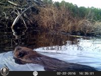 Beaver swimming, Unexpected Wildlife Refuge trail camera photo