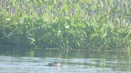 Beaver amongst yellow water lilies and pickerelweed in Miller Pond (Jun 2019)