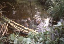 Beavers on Refuge in 1984, Unexpected Wildlife Refuge photo