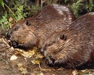 North American beavers, Unexpected Wildlife Refuge photo