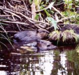 Beavers near their lodge, Unexpected Wildlife Refuge photo