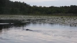 Beavers swimming in main pond (May 2019)