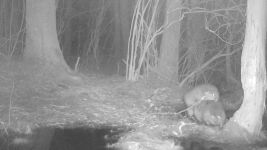 Beavers mating near Bluebird Trail, trail camera photo (1) (Feb 2020)