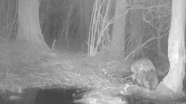 Beavers mating near Bluebird Trail, trail camera photo (2) (Feb 2020)
