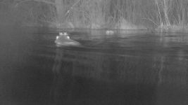 Beavers swimming, by trail camera (Mar 2018)