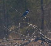 Belted kingfisher, Unexpected Wildlife Refuge photo