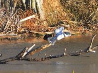 Belted kingfisher in flight, Unexpected Wildlife Refuge photo