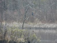 Belted kingfisher in tree on main pond, Unexpected Wildlife Refuge photo