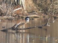 Belted kingfisher with fish (Nov 2017)