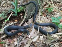 Black racer, Unexpected Wildlife Refuge photo