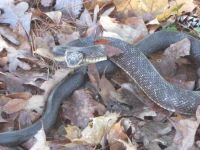 Black rat snake, Unexpected Wildlife Refuge photo