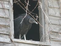 Black vulture in attic of cabin barn, nesting (May 2020)
