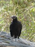 Black vulture on cabin barn, Unexpected Wildlife Refuge photo