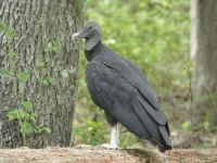 Black vulture family series, 01, parent near cabin barn (Jul 2020)