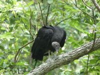 Black vulture family series, 03, parent in tree near cabin barn (Jul 2020)