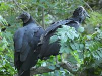 Black vulture family series, 05, parent and fledgling in tree near cabin barn (Jul 2020