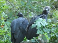 Black vulture family series, 06, parent and fledgling in tree near cabin barn (Jul 2020