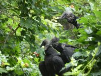 Black vulture family series, 08, parent and fledglings in tree near cabin barn (Jul 2020