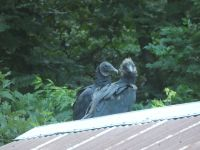 Black vulture family series, 09, parent and fledgling on cabin barn shed roof (Jul 2020)