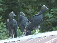 Black vulture family series, 10, parent and fledglings on cabin barn shed roof (Jul 2020)