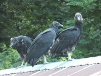 Black vulture family series, 11, parent and fledglings on cabin barn shed roof (Jul 2020)