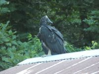 Black vulture family series, 12, fledgling on cabin barn shed roof (Jul 2020)