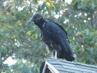Black vulture family series, 13, fledgling on cabin barn shed roof (Jul 2020)
