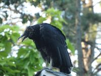 Black vulture family series, 14, fledgling on cabin barn shed roof (Jul 2020)