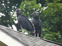 Black vulture family series, 16, fledglings on Headquarters roof (Jul 2020)