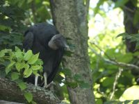 Black vulture family series, 17, parent in tree near Headquarters (Jul 2020)