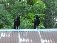 Black vulture family series, 20, fledglings on cabin barn shed roof (Jul 2020)