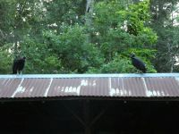 Black vulture family series, 21, fledglings on cabin barn shed roof (Jul 2020)
