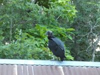 Black vulture family series, 22, fledgling on cabin barn shed roof (Jul 2020)