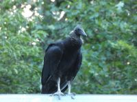 Black vulture family series, 23, fledgling on cabin barn shed roof (Jul 2020)