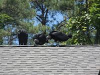 Black vulture family series, 24, parent and fledglings on Headquarters roof (Jul 2020)