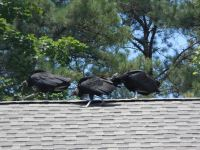 Black vulture family series, 25, parent and fledglings on Headquarters roof (Jul 2020)