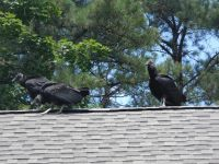 Black vulture family series, 26, parent and fledglings on Headquarters roof (Jul 2020)