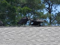 Black vulture family series, 28, parent feeding fledgling on Headquarters roof (Jul 2020)