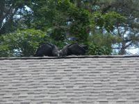 Black vulture family series, 29, fledglings on Headquarters roof (Jul 2020)
